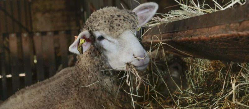 élevage ovins